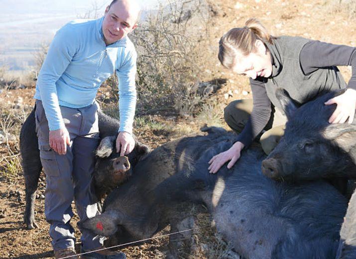 Nos porcs Gascons et nos vaches Highland ont besoin de vous !