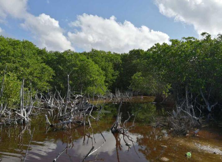 Mahahual Mangroves Forest: raise awareness for better conservation!