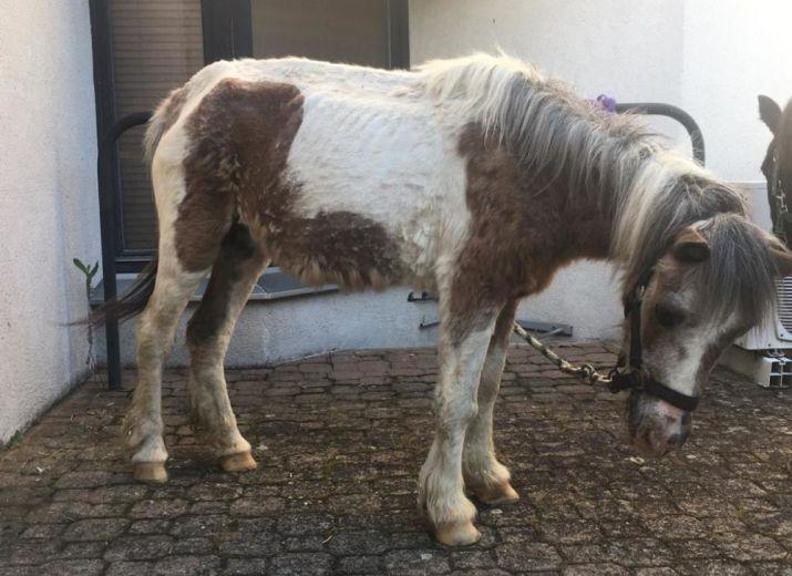 Participation financière aux frais vétérinaires pour 4 poneys sauvés d'un manège à poneys
