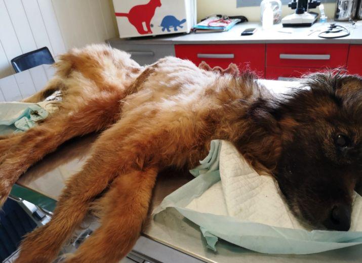 Besoin de soins intensifs pour une chienne en souffrance