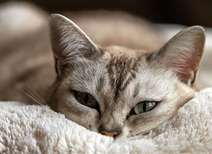 Emotional Support Cats Help People With Health Issues - 2021 Guide