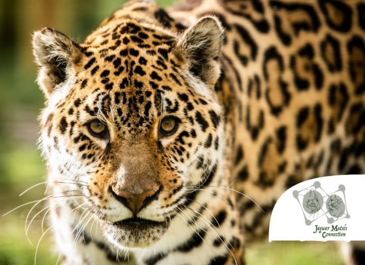 Save the jaguar and help the Matsés tribe in Amazonia !