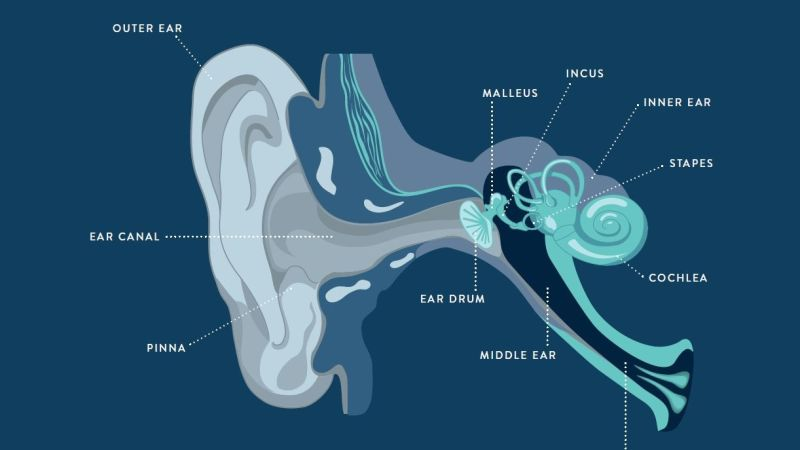 A Sound Wave's Journey Through Your Ear