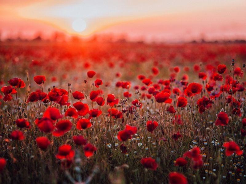 Red poppy's in field