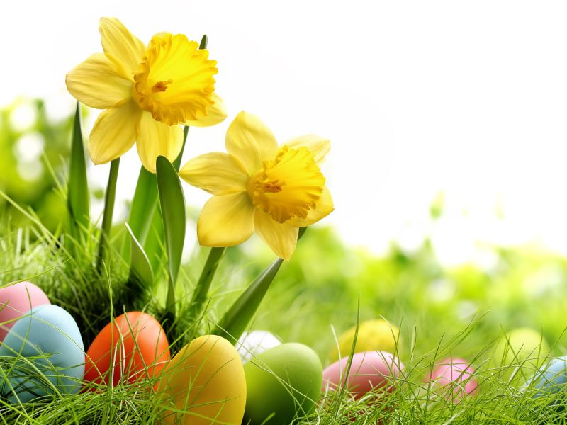 Daffodils and Easter eggs in grass