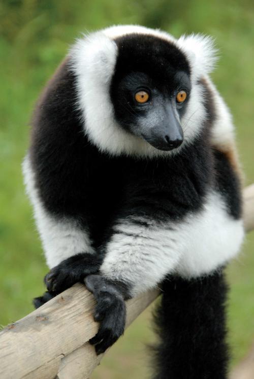 1563271385096V.-v.-variegata-2007_07_Madagascar_022(clc).jpg