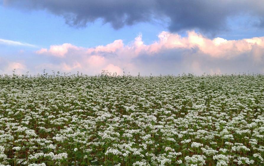 buckwheat_le_pain_des_fleurs
