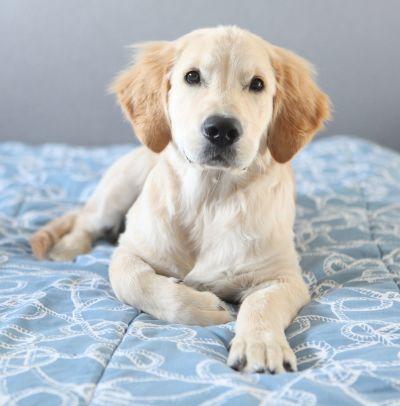 A labrador on a bed.