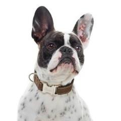 Hunter - Hunting Leather & Aluminum Dog Collar