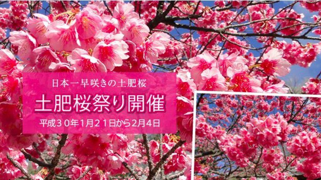 1月都有櫻花睇!伊豆半島土肥櫻半天遊