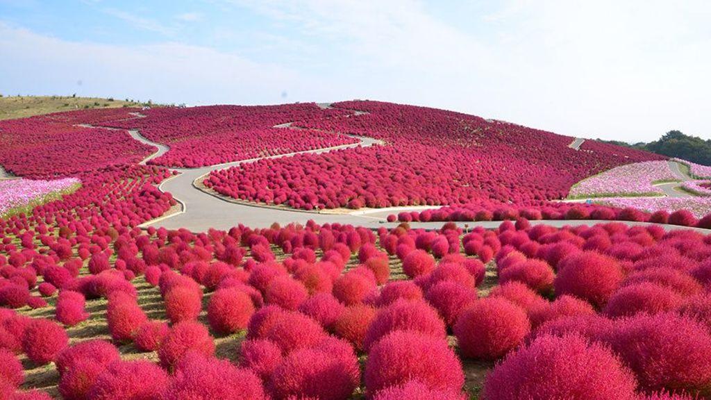 進入3萬株掃帚草的「火海」 食慾之秋一日遊