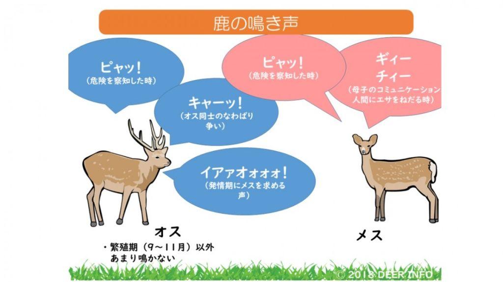 解讀鹿的叫聲  與可愛的奈良野生小鹿和平共處吧