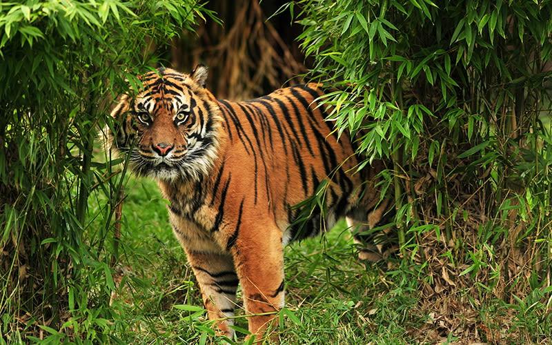 #berita sumbar, #dihadang harimau, #warga solok Limbago.id