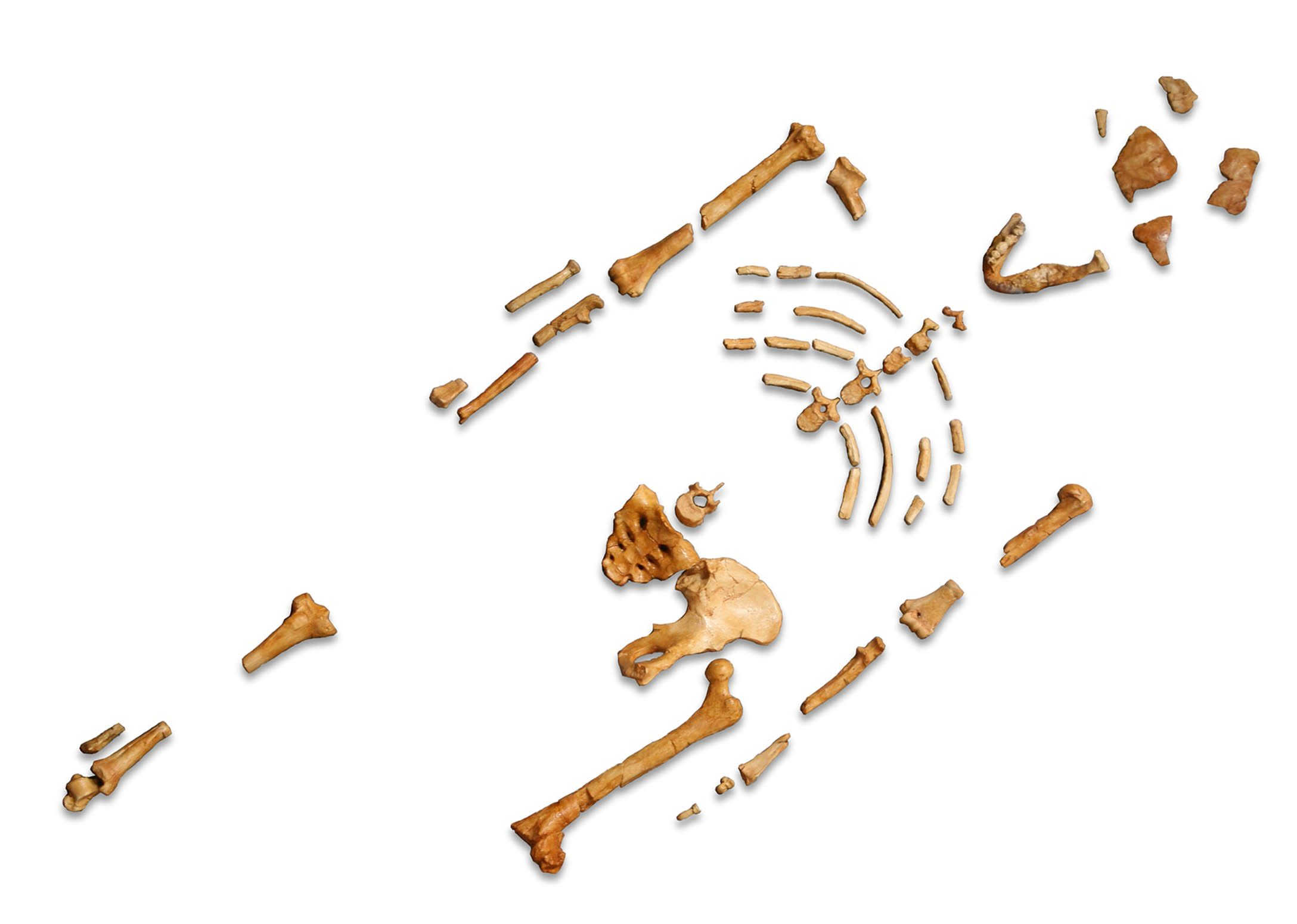 Reconstruction_of_the_fossil_skeleton_of_Lucy_zxlnrt.jpg