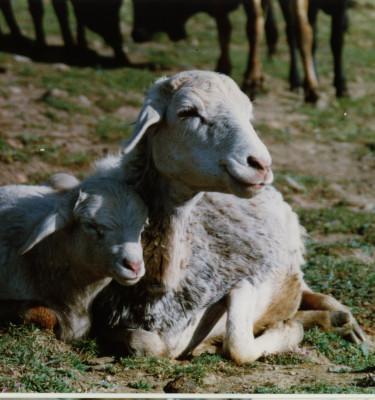 Small Sheep