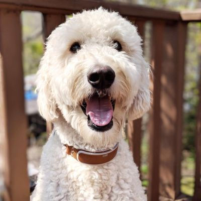 Goldendoodle wearing Classic LinkAKC Smart Collar