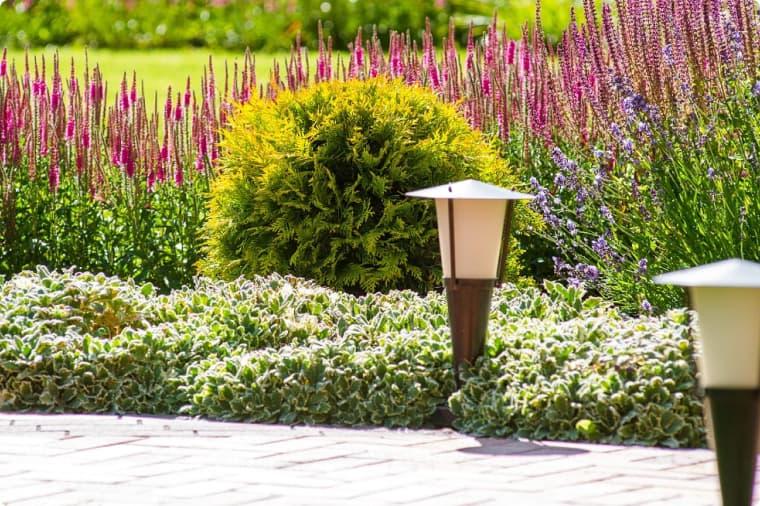 Бересклет и лаванда у садовой дорожки