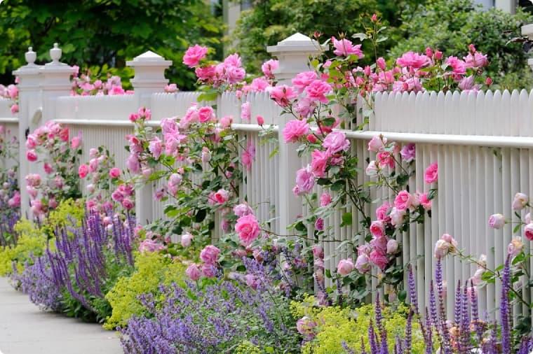 Забор, увитый розами