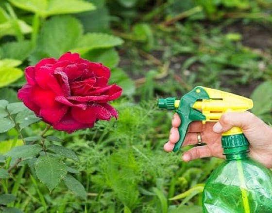 Как правильно сажать розы и ухаживать за ними