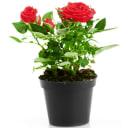 Роза в сортах  (V3л)