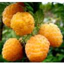 Малина желтоплодные сорта .в сортах (V2-3л)