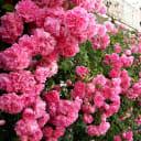 Роза плетистая «Виктория» С4