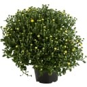 Хризантема 13x16 см цвета в ассортименте