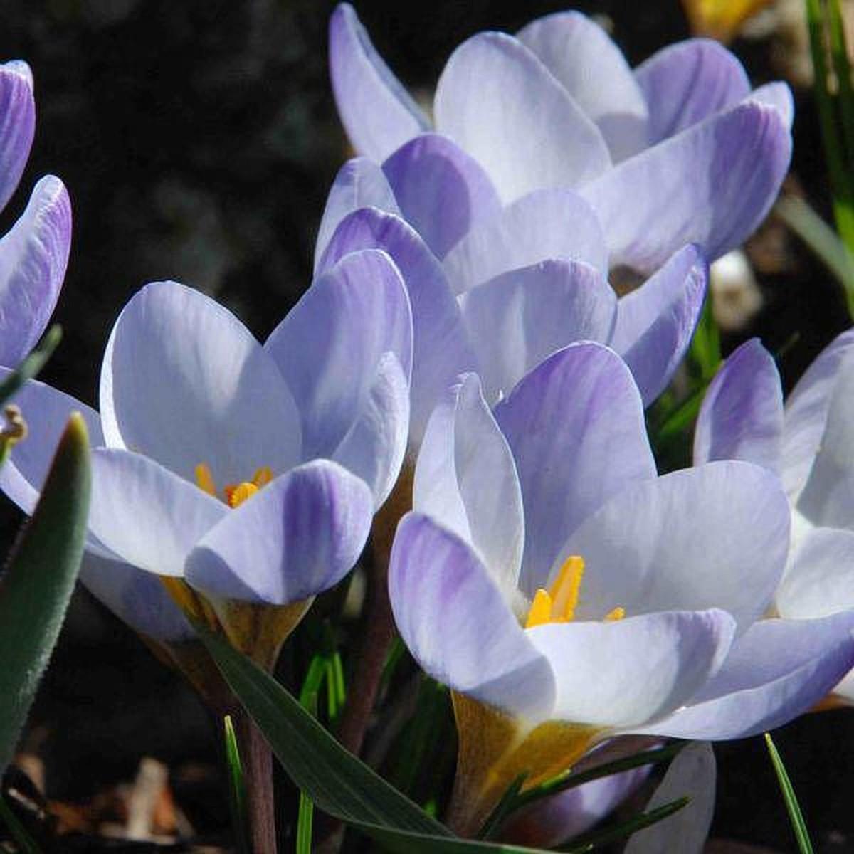 Крокус Geolia Blue