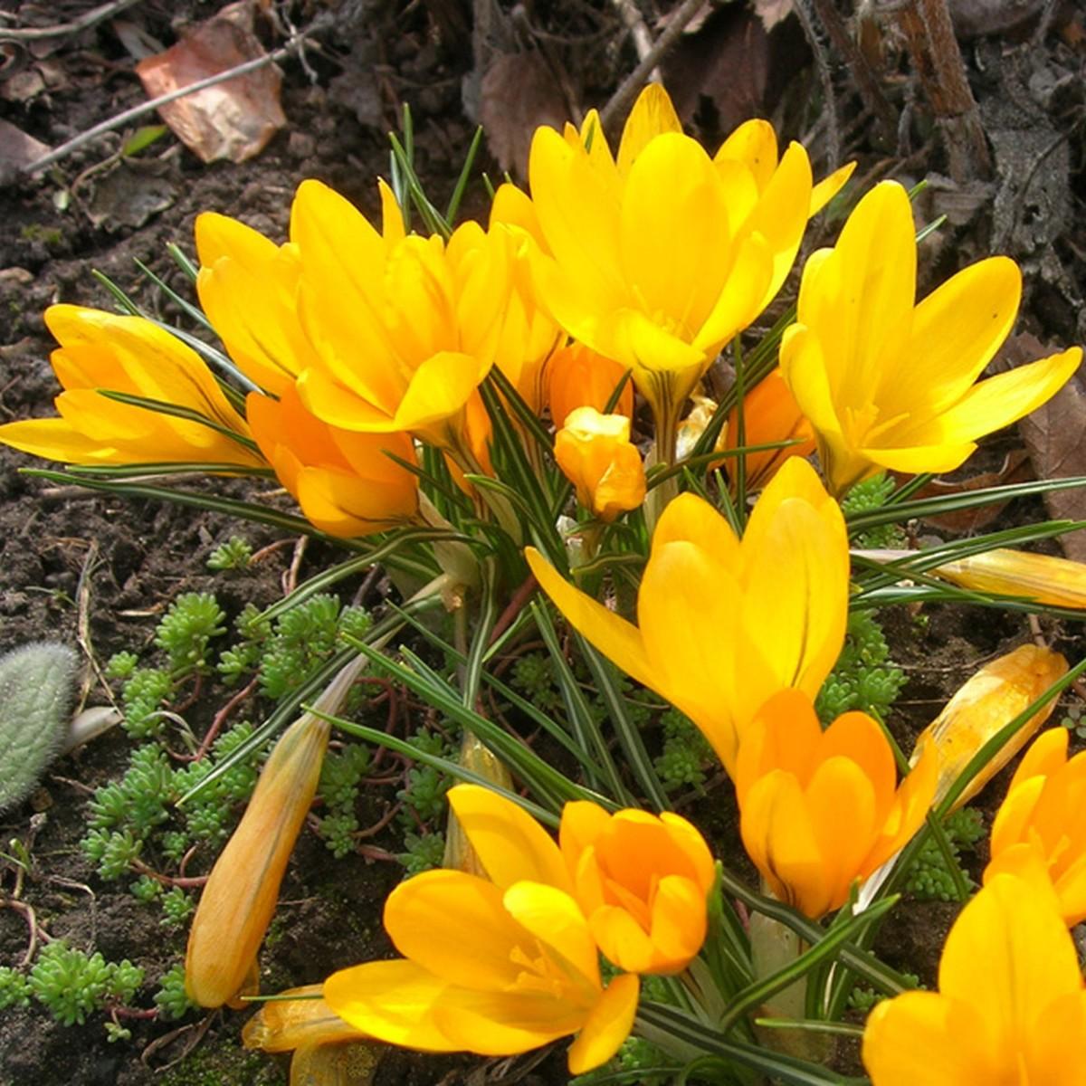 Крокус Geolia Golden Bunch