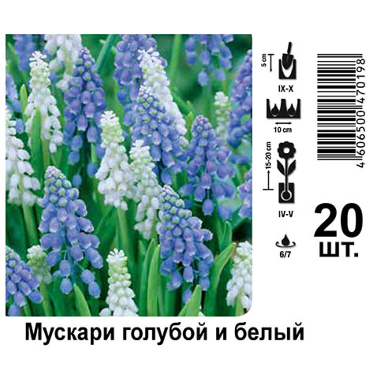 Мускари Цвет Голубой/Белый
