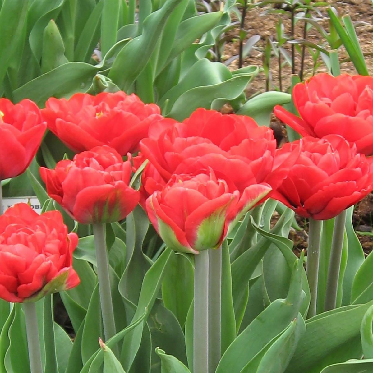 Тюльпан Абба 11х12 см