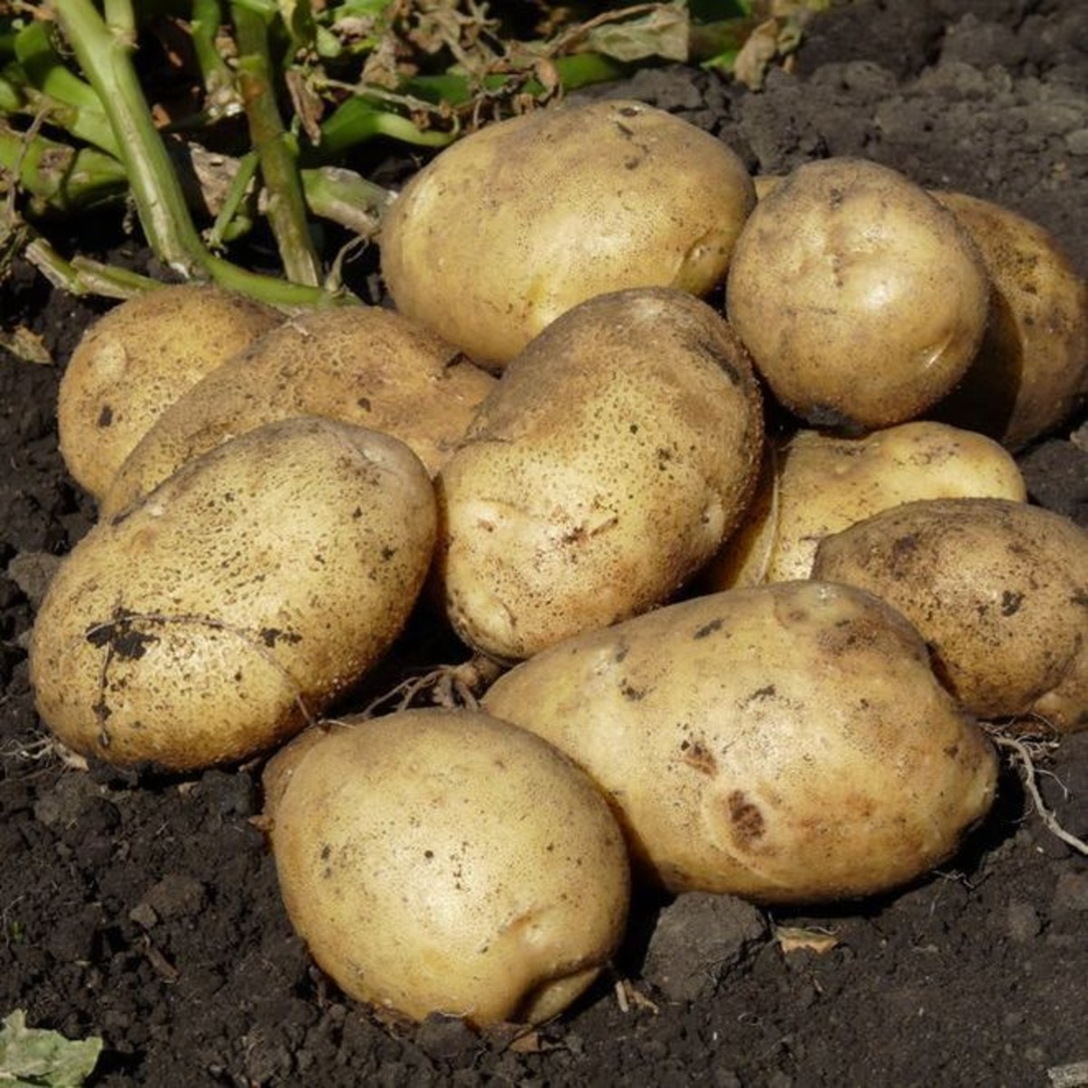 Картофель «Удача» РС2 упаковка 2 кг