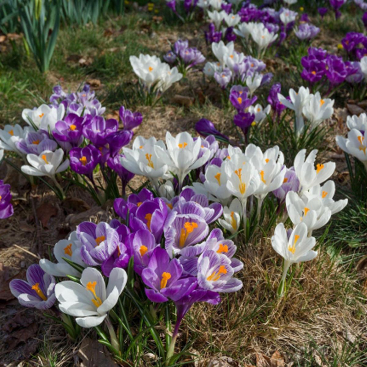 Крокусы Крупноцветковые Микс