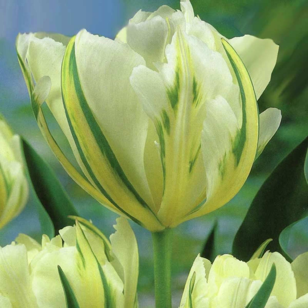 Тюльпан Exotic Emperor GEOLIA 12 6/25