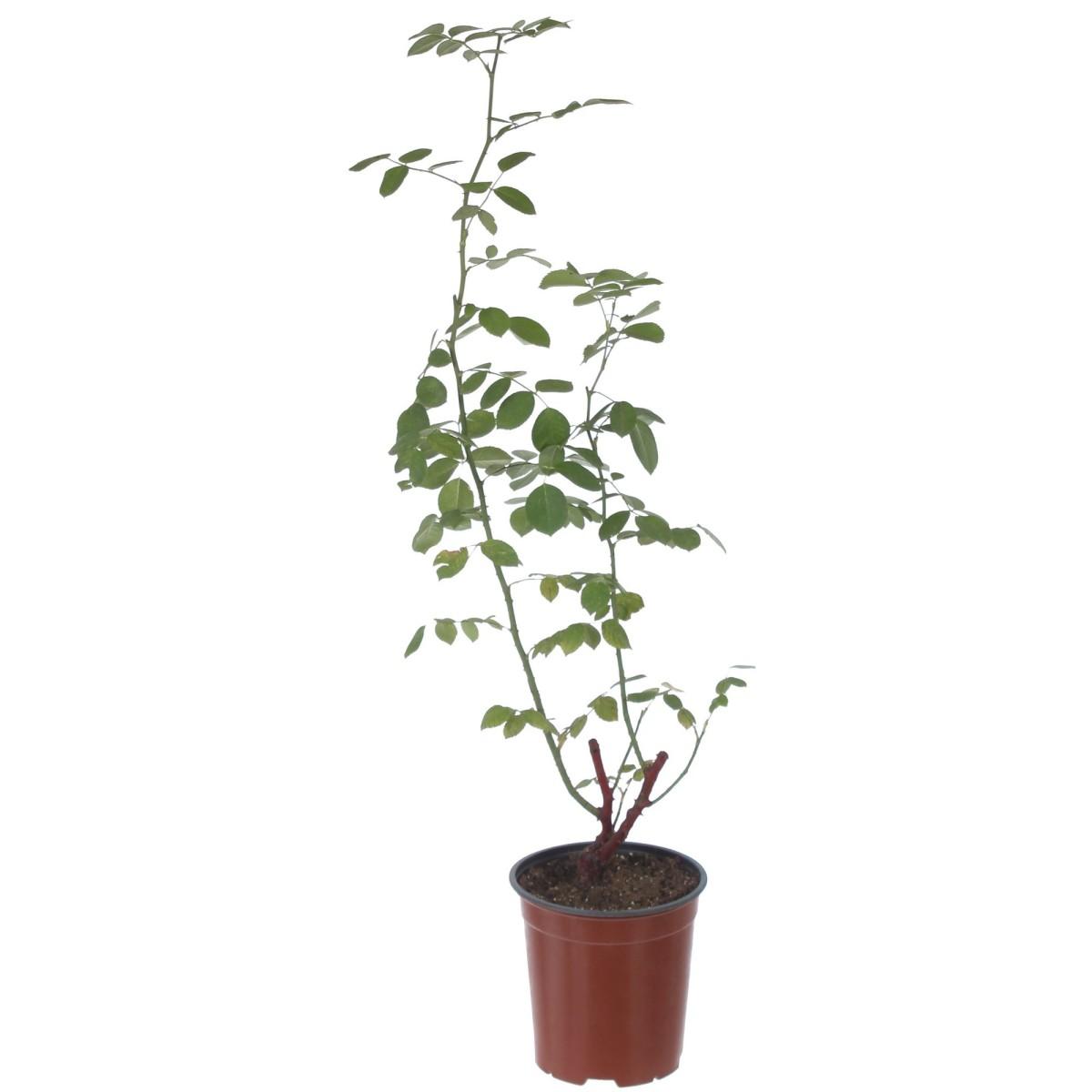 Роза плетистая Дон Жуан контейнер 3.5 л