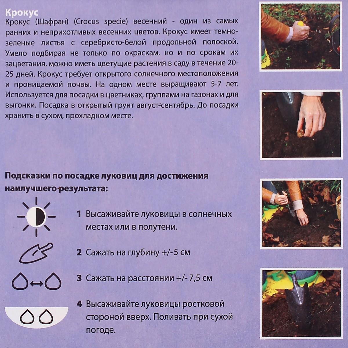 Крокус Фускотинтус Размер Луковицы 5/7