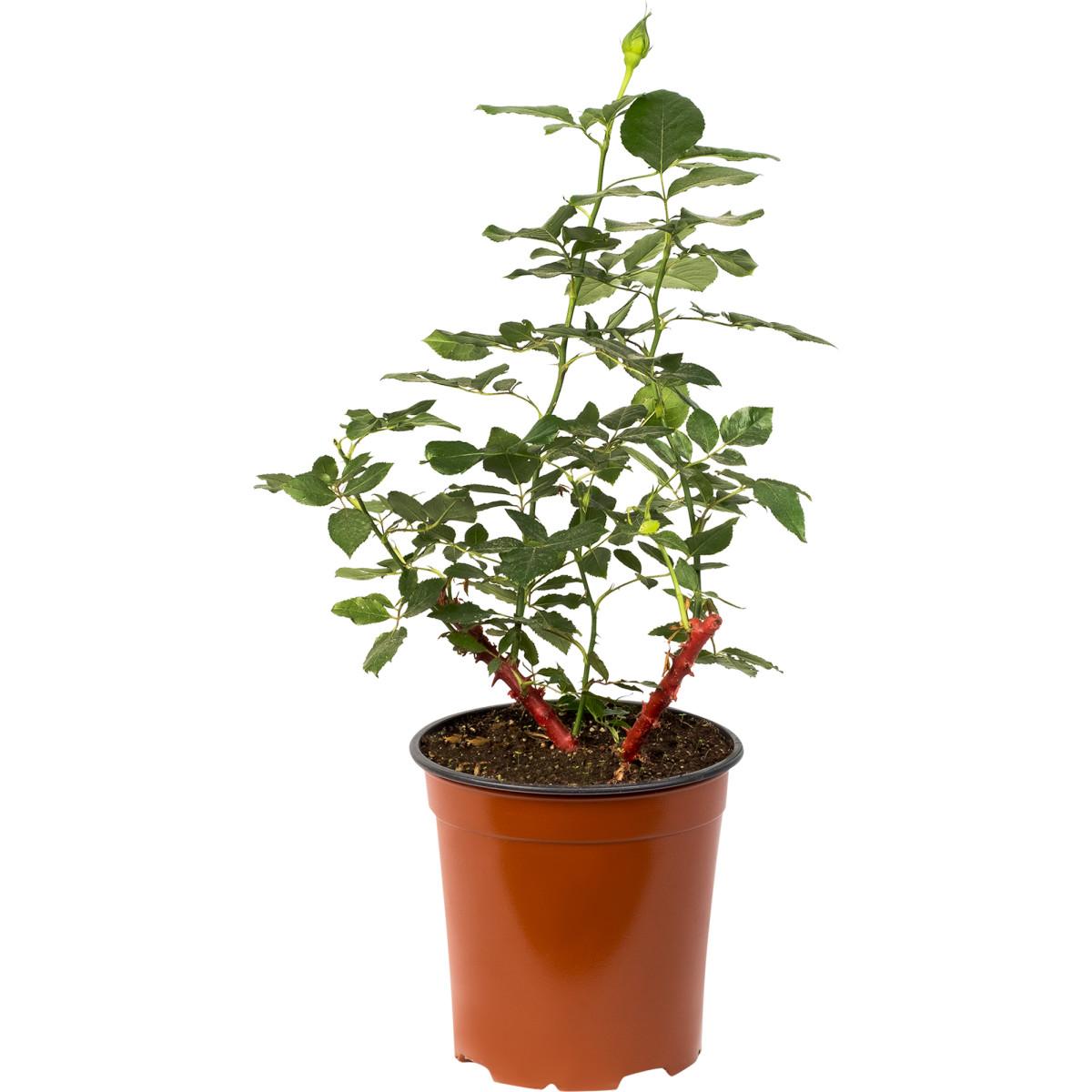 Роза флорибунда Раффлс Дримс 3.5 л h15 см