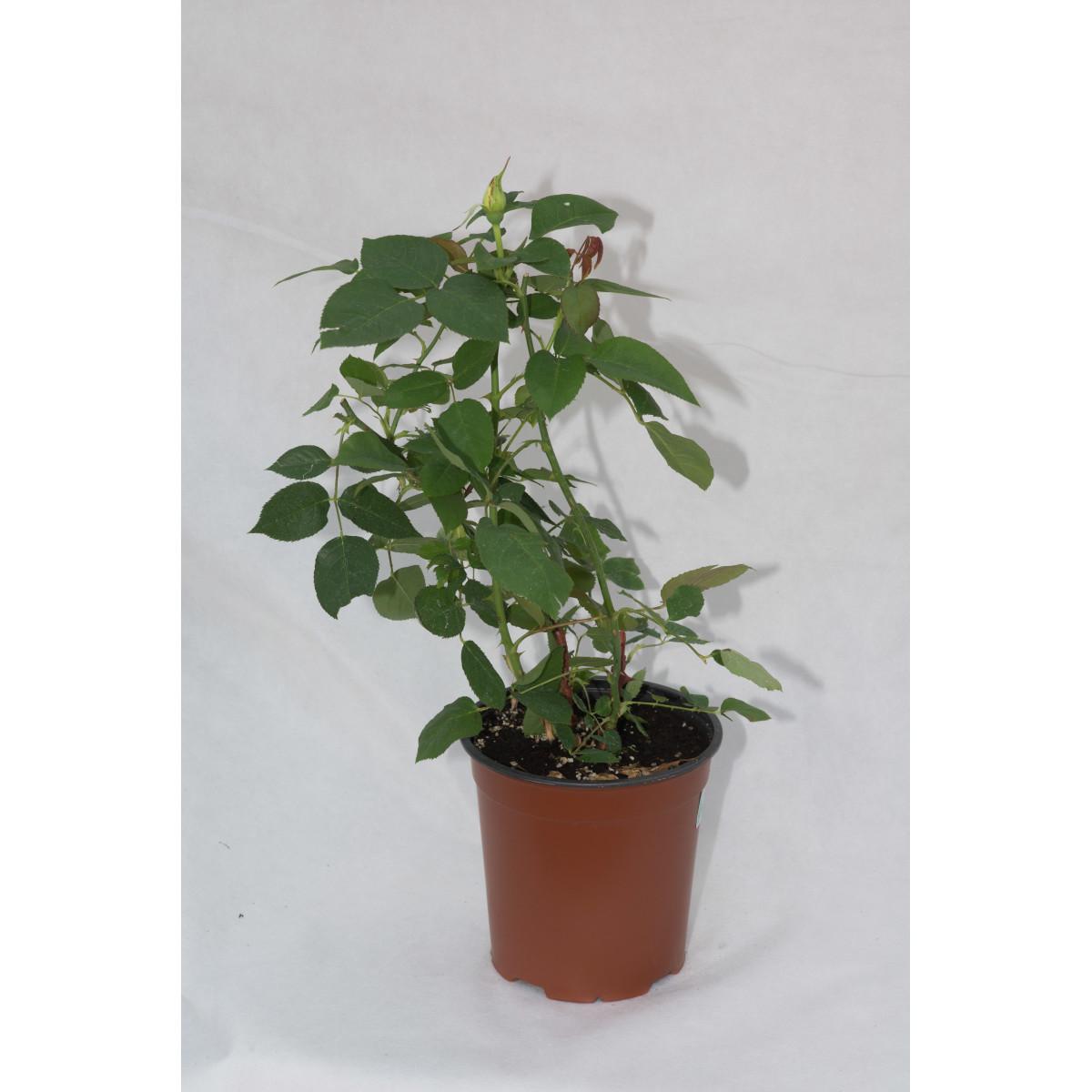 Роза флорибунда Раффлс Шоколад 3.5 л h15 см