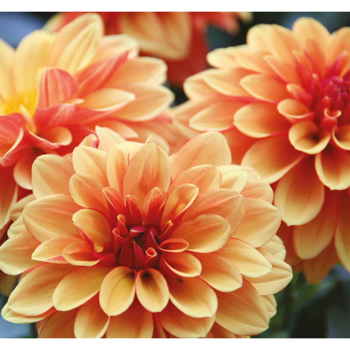 Фотообои 3D Flizart «Оранжевые георгины» флизелиновые 300x280 см