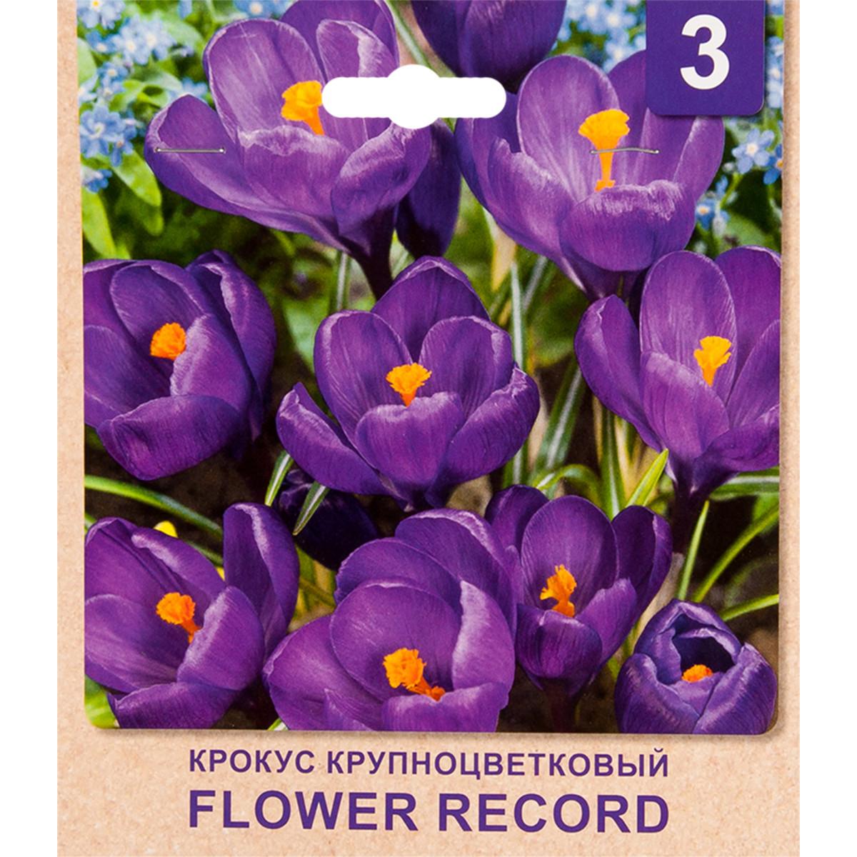 Крокус Flower Record Размер Луковицы 7/8 3
