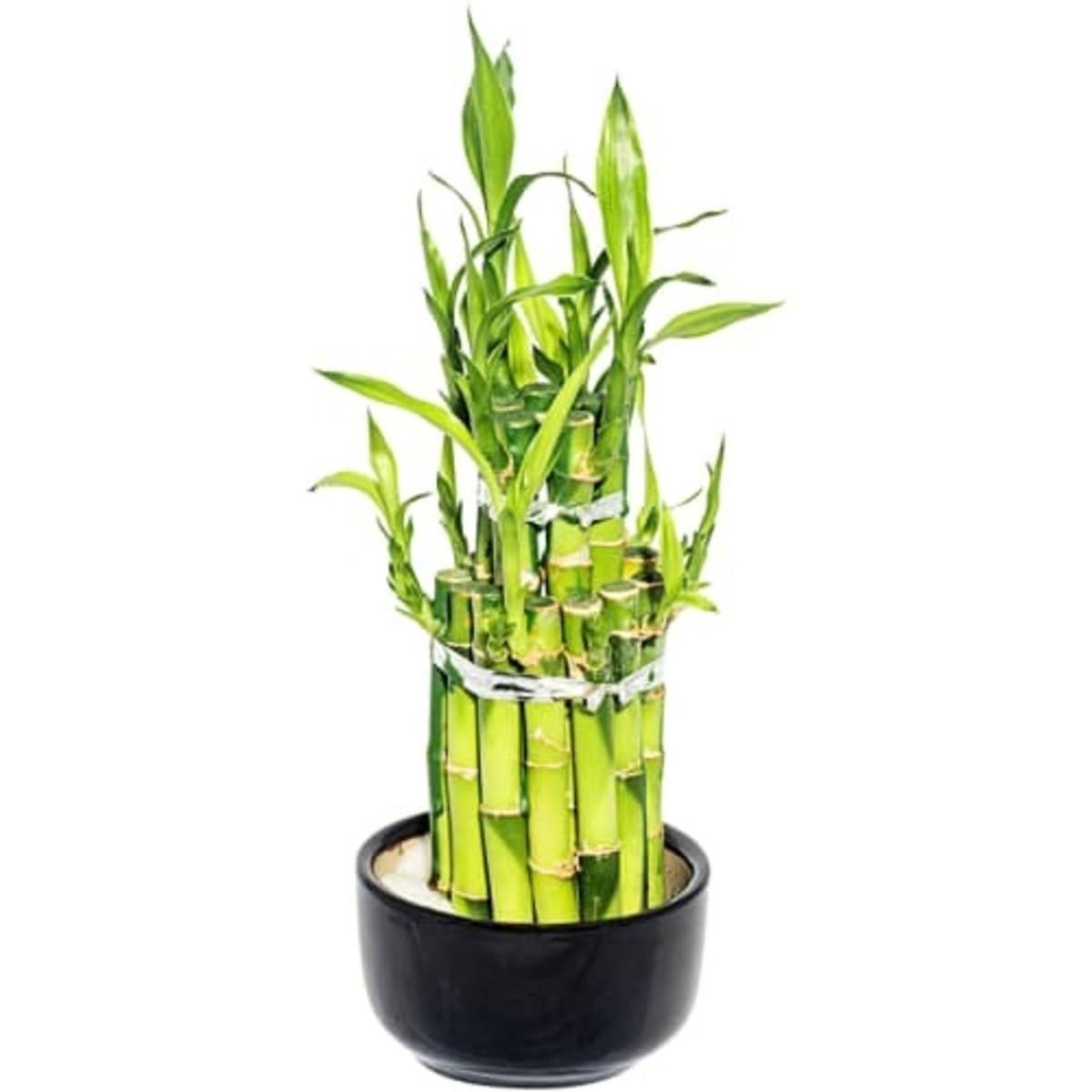 Бамбук Лаки 2 ронд 9x30 см
