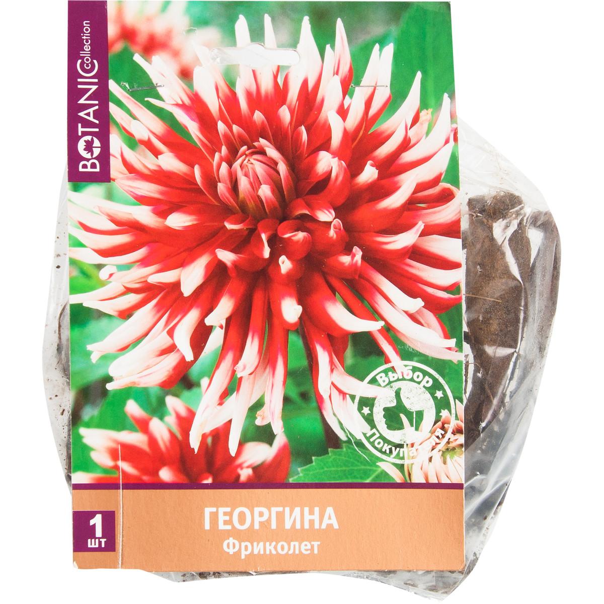 Георгина кактусовая «Фриколет»