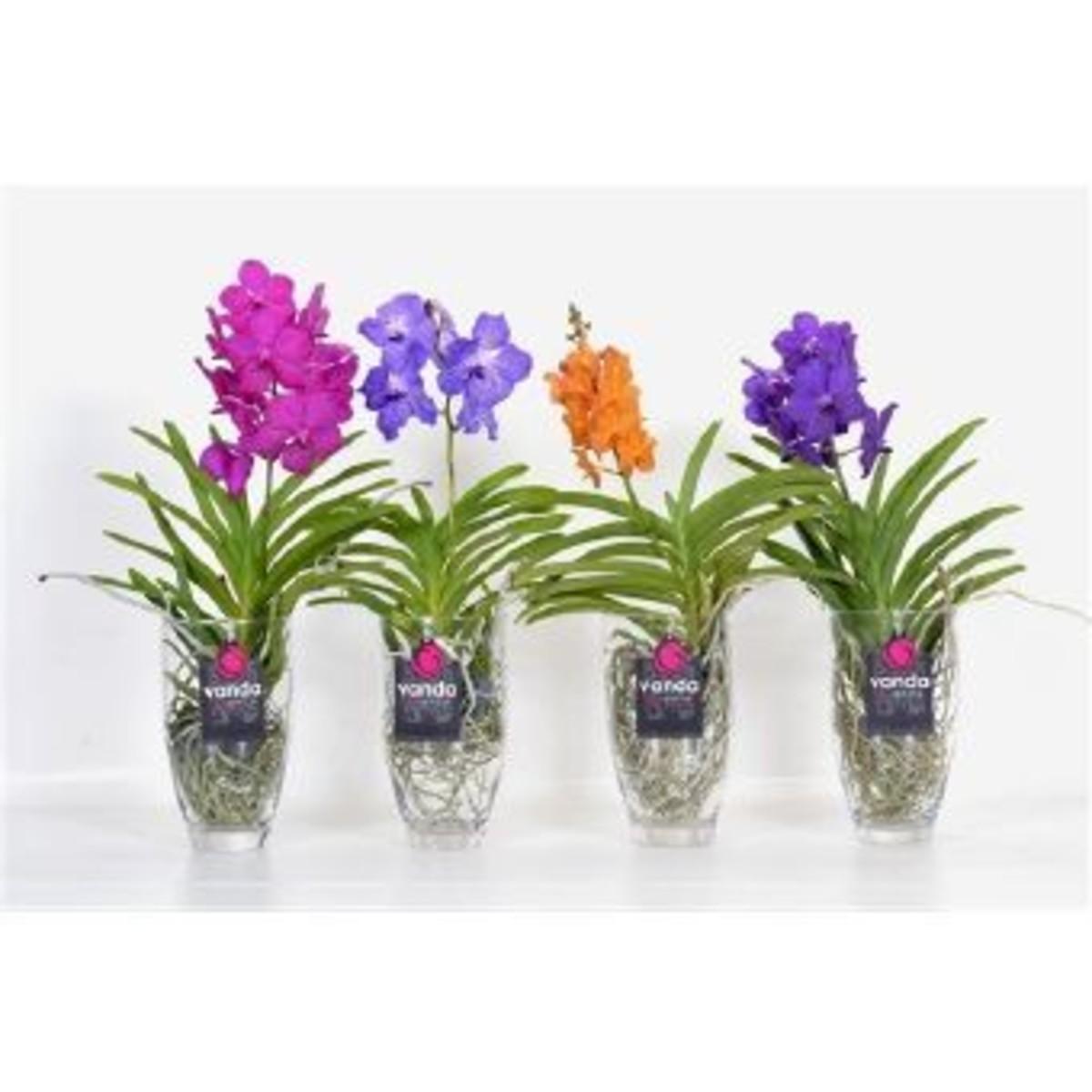Орхидея Ванда Микс В Стекле D15 H40