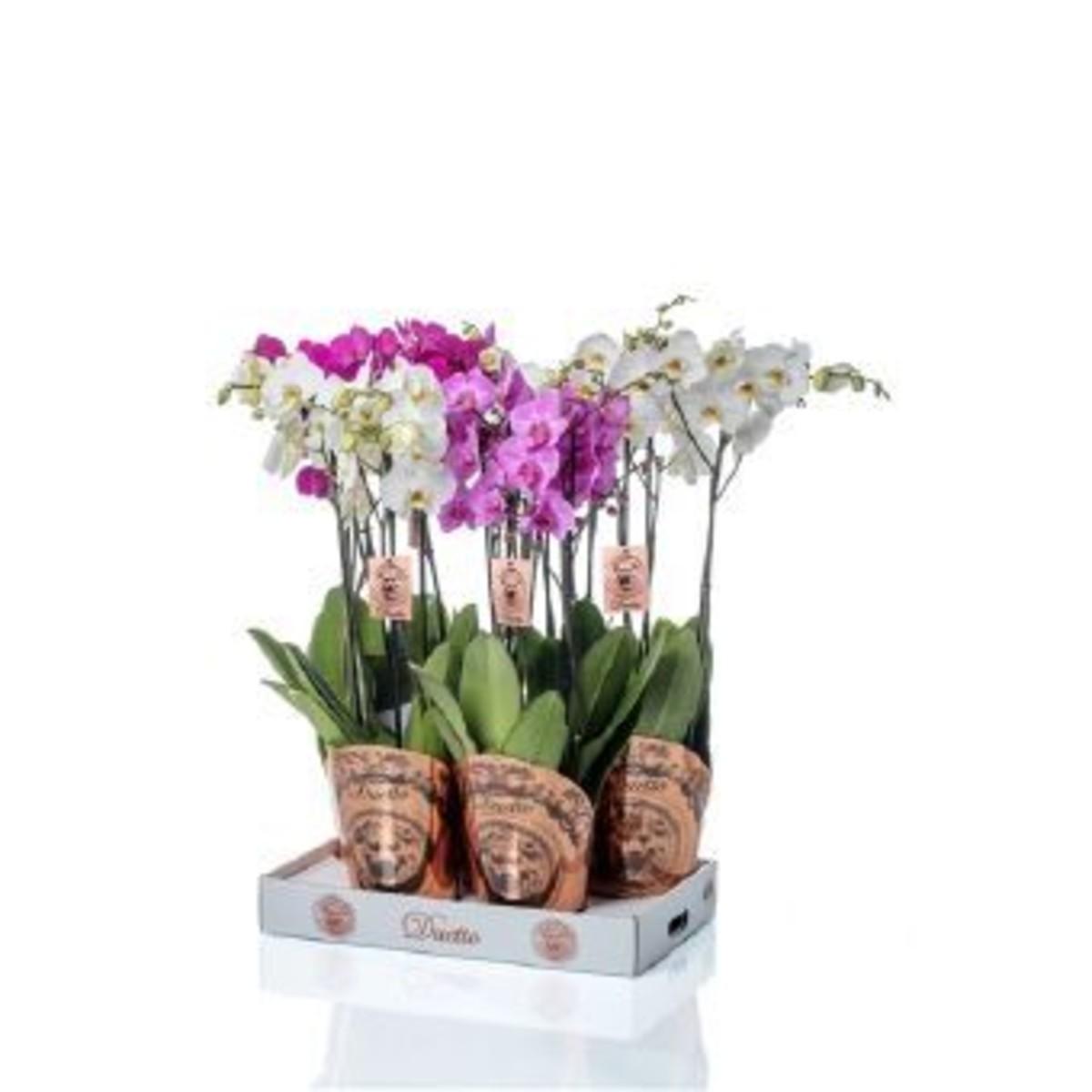 Орхидея Фаленопсис Дуэтто D17 H65