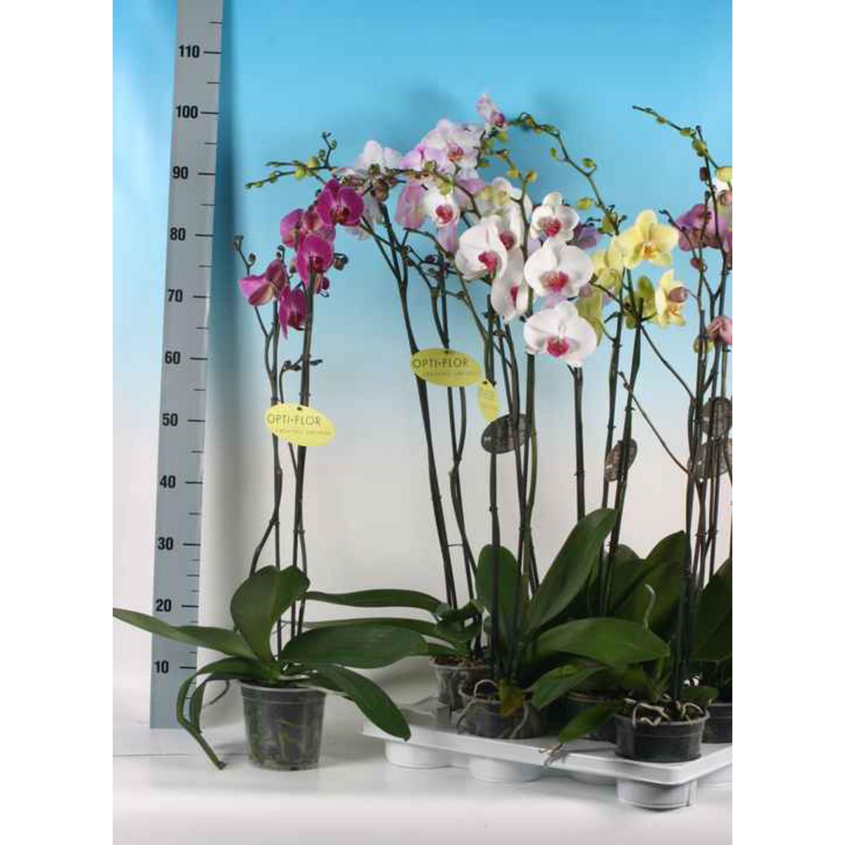 Орхидея Фаленопсис Микс 2Рр D15 H80