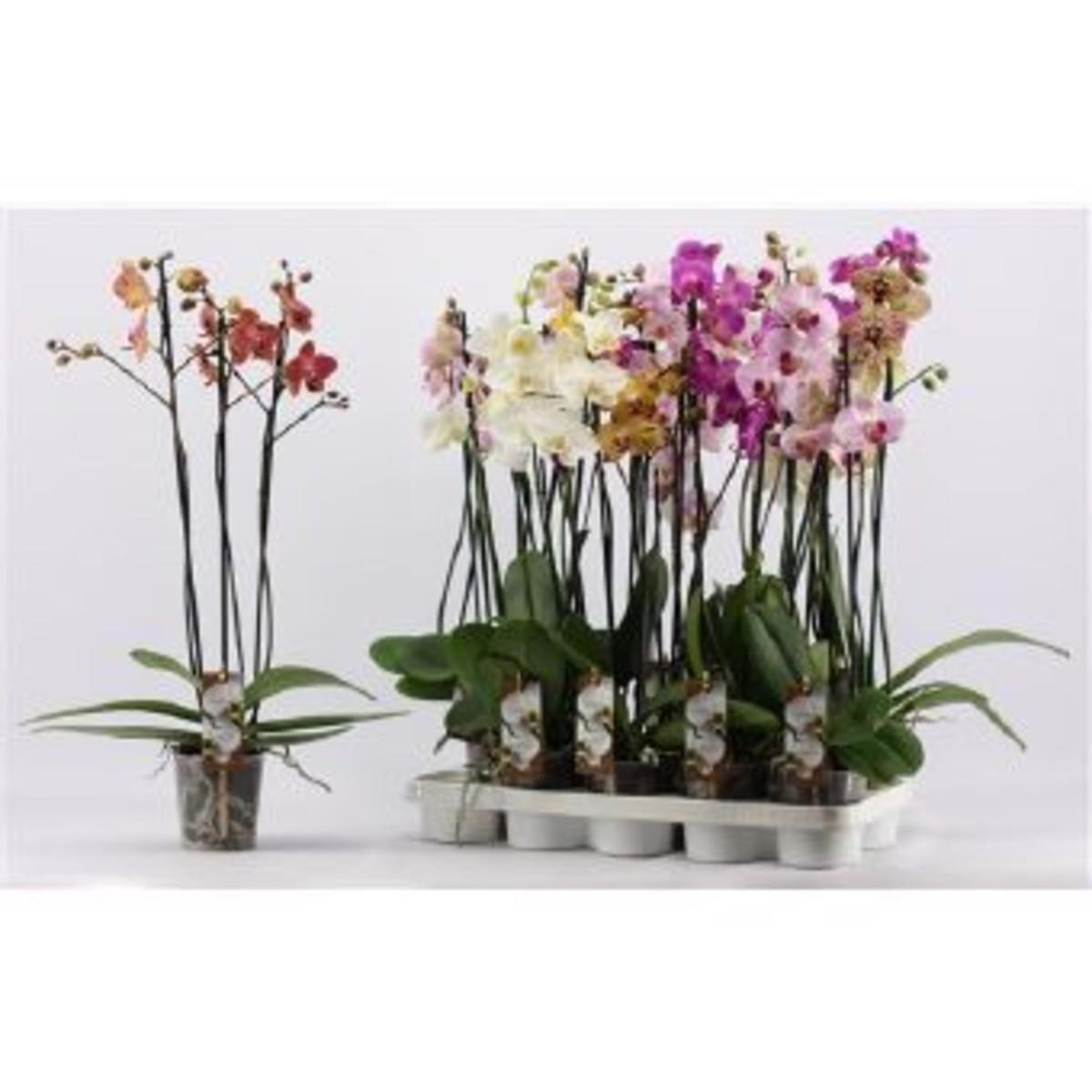 Орхидея Фаленопсис Микс 3Рр D12 H60