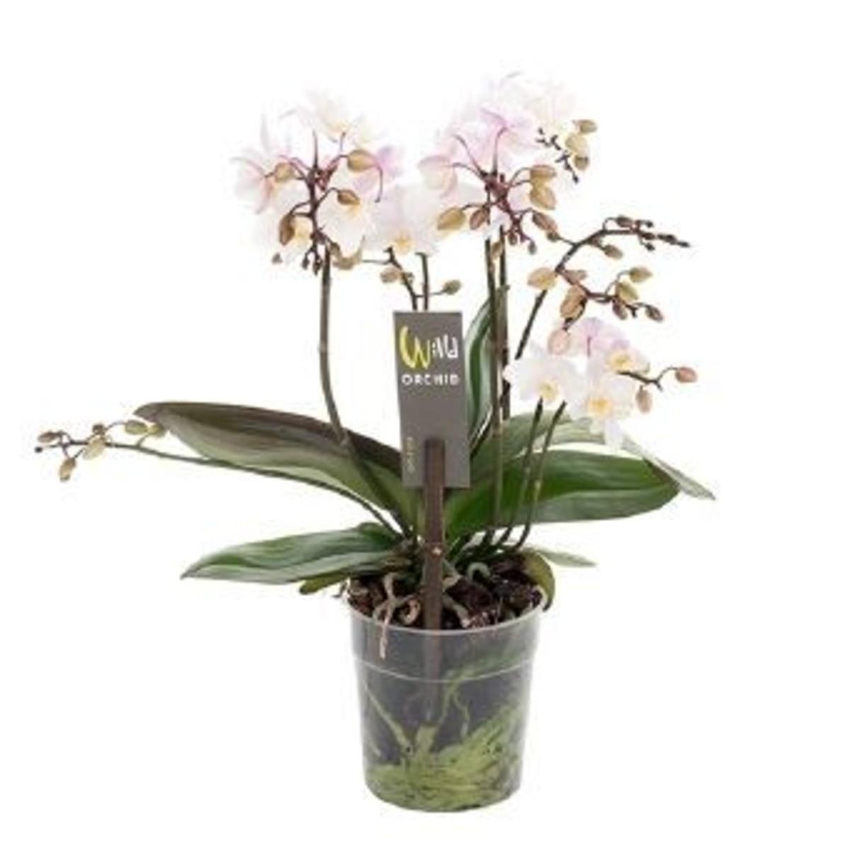 Орхидея Фаленопсис Вайлд Пинк Микс D12 H45
