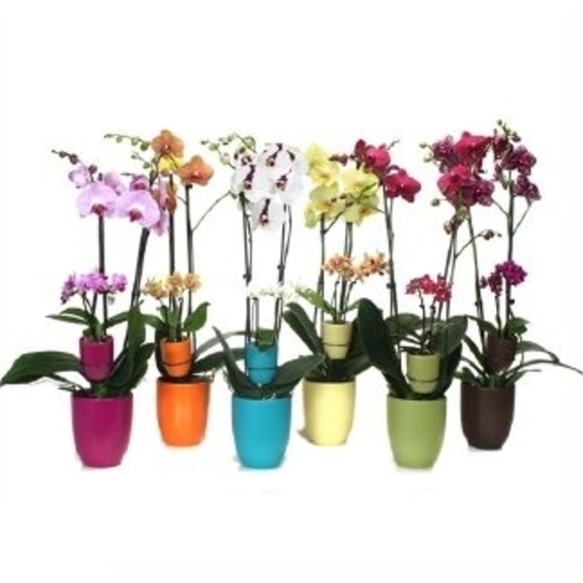 Орхидея Фаленопсис Мать И Дитя 12x60