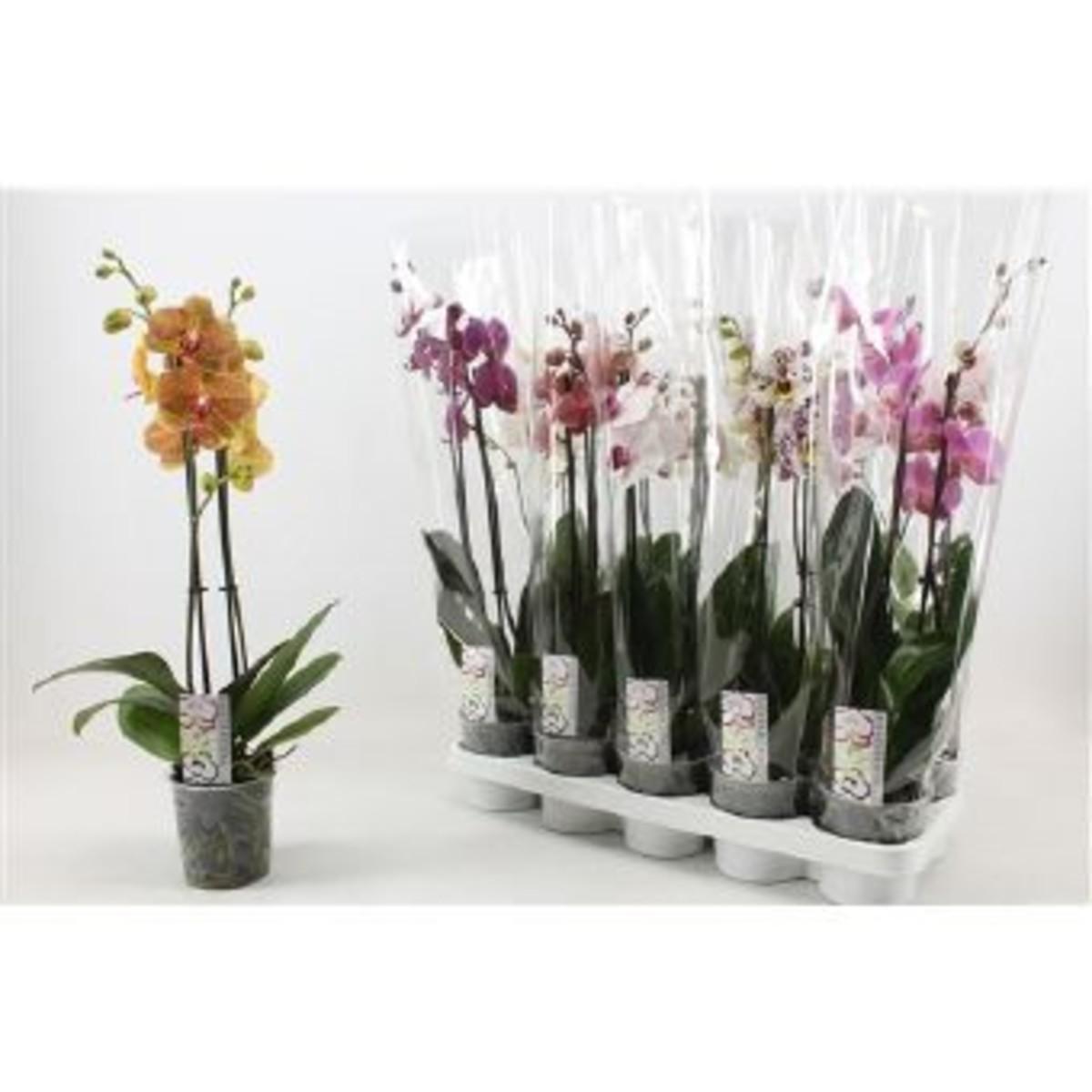 Орхидея Фаленопсис Микс 2Рр D12 H60