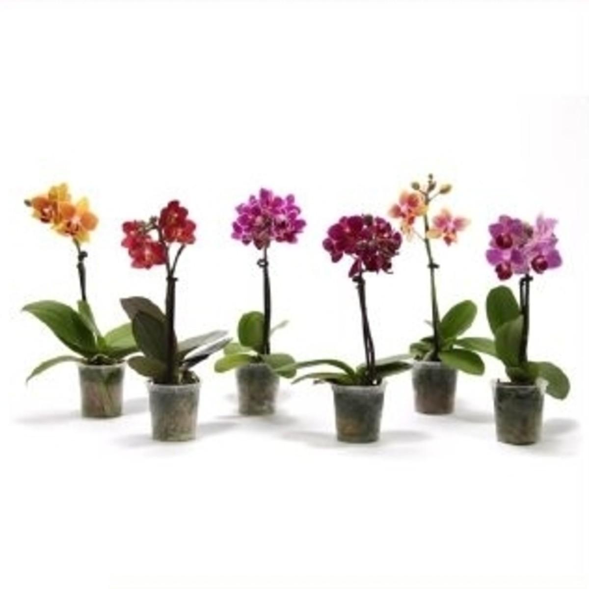 Орхидея Фаленопсис Мини 1Рр D6 H22